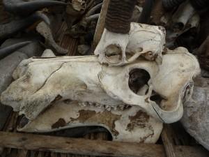 Un crâne d'hippopotame