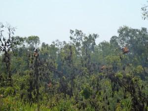 Les chauve-souris du Nitmuluk National park