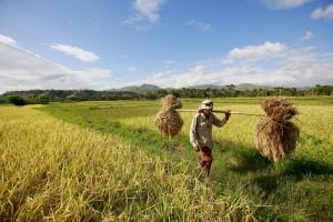 Récolte au Timor Oriental