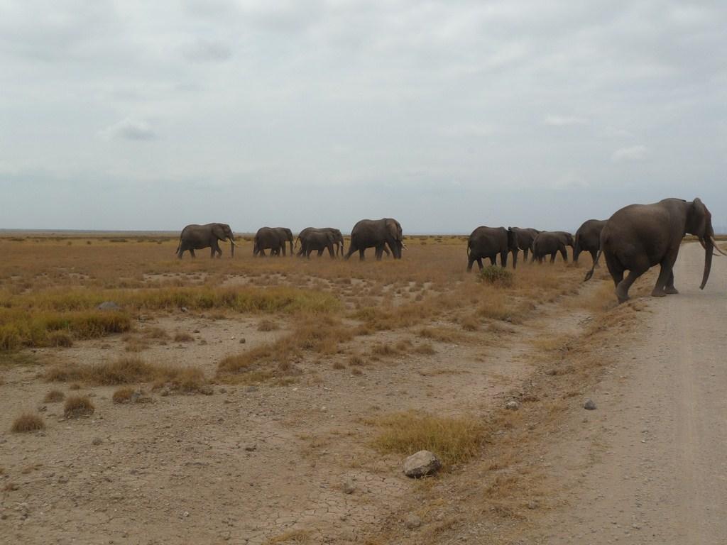 Un des nombreux groupes d'éléphants