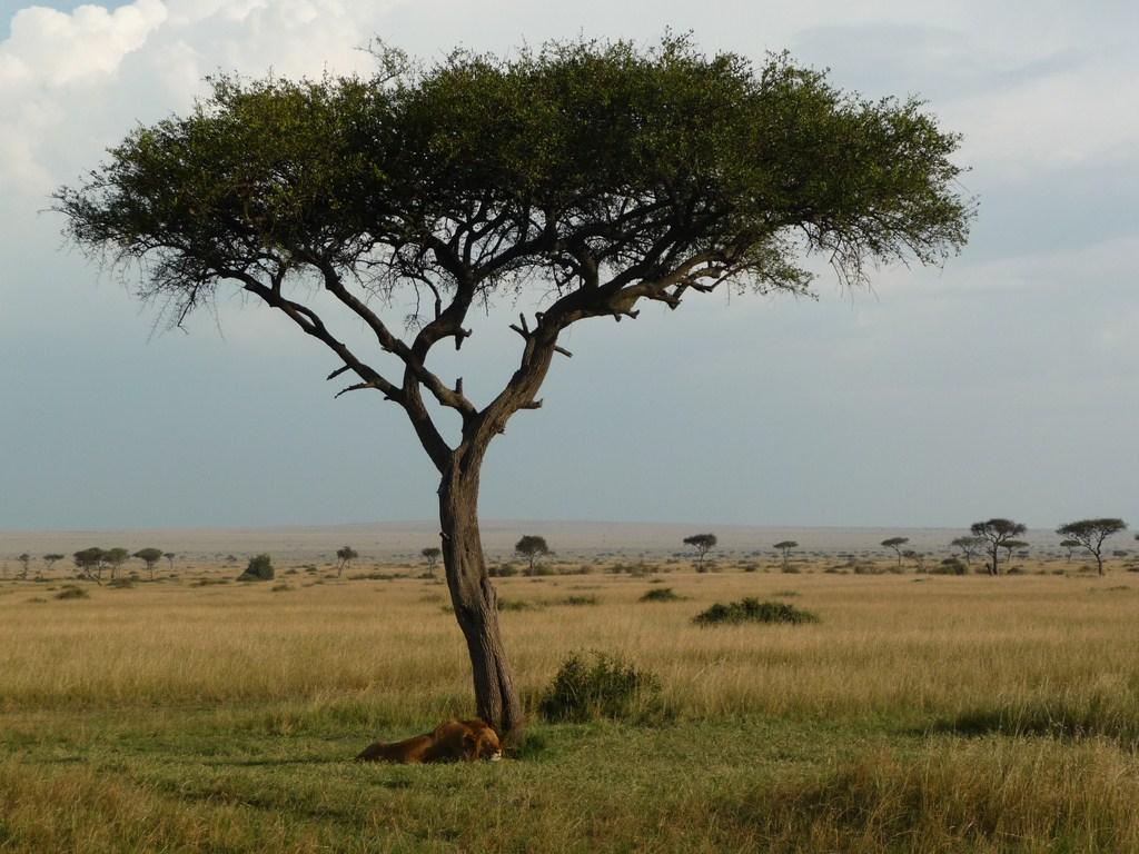 Un lion qui fait la sieste au Massaï Mara