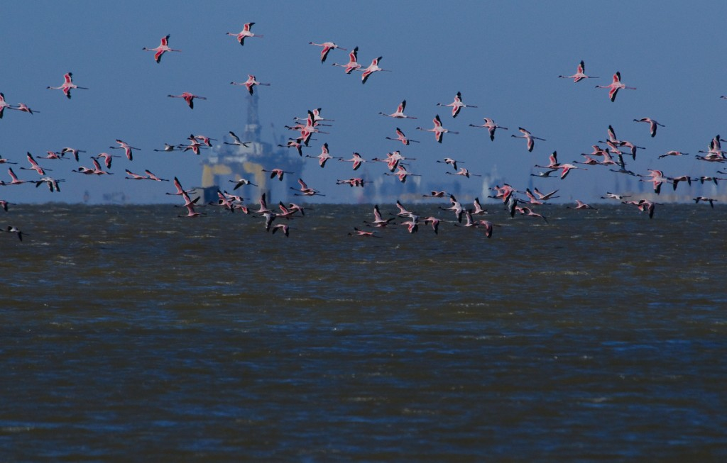 Les flamants roses de Walvis Bay